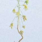 citroen geranium - olieverf op doek - 40x 88cm